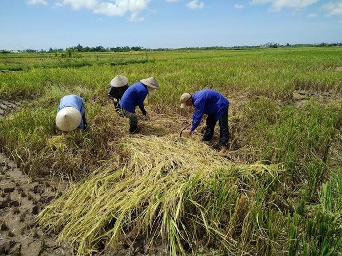 Đặc sản gạo tám xoan Hải Hậu - Nam Định