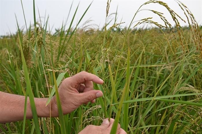 Nguồn gốc đặc sản gạo tám xoan Hải Hậu, Nam Định