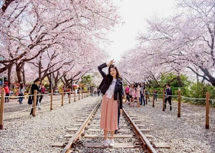 'Giắt túi' trọn bộ kinh nghiệm ngắm hoa anh đào Hàn Quốc hữu ích