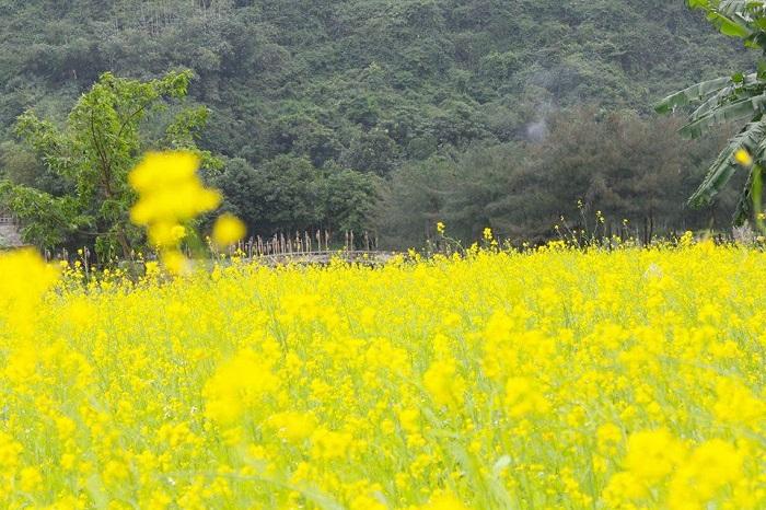 The canola field in the movie 'Golden Boy'-tintucninhbinh