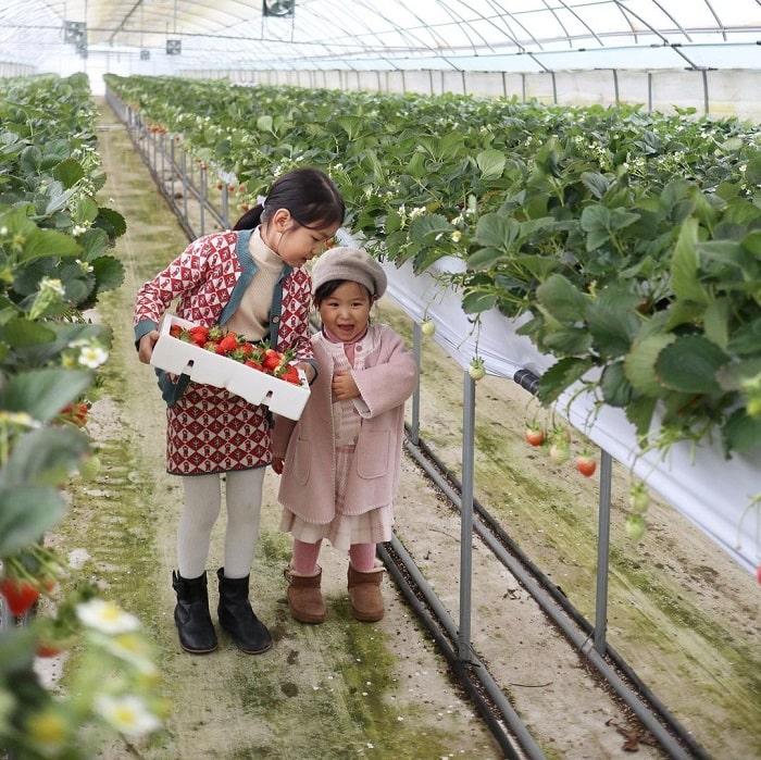 kinh nghiệm du lịch Hàn Quốc tháng 2 - tham quan vườn dâu