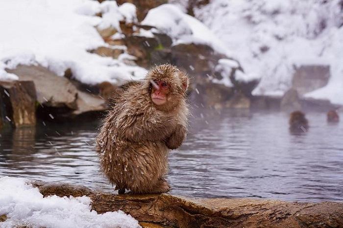 trải nghiệm mùa đông Nhật Bản - ngắm khỉ Jigokudani
