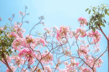 Giới trẻ xếp hàng check-in cùng hoa kèn hồng Sài Gòn khoe sắc