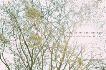 Đến hẹn lại lên, mùa hoa sưa Hà Nội nở trắng trời