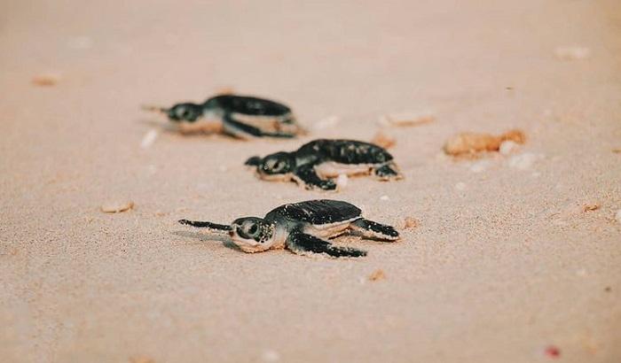 du lịch Côn Đảo chơi gì - xem rùa đẻ trứng