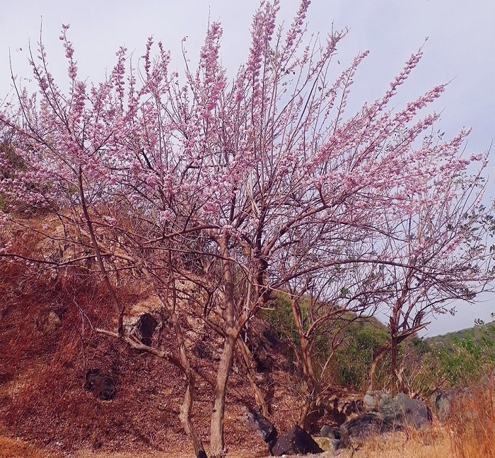 Vung Tau apricot blossom season makes people infatuated