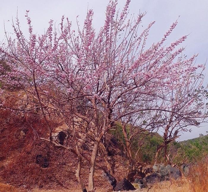 Vung Tau apricot blossom season makes people infatuated