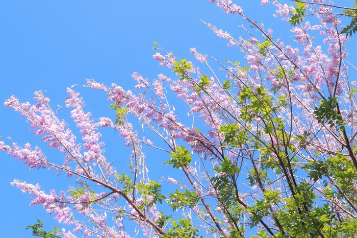 The apricot flowers form a pinkish cluster