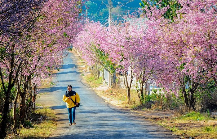 The apricot blossom season in Vung Tau-myanh