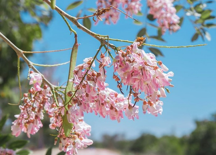 The apricot flowers in Vung Tau are fragile