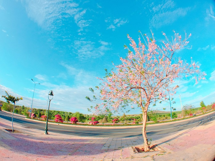 Vung Tau apricot blossom season blooms at the end of December of the lunar calendar