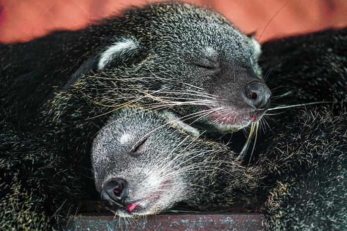 Ngoài việc có rất nhiều rắn, thì nơi đây còn nuôi một số loài động vật khác như chồn hương, gấu chó, hổ...