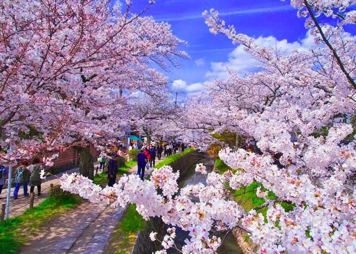 Mùa hoa anh đào Vũ Hán bừng sắc