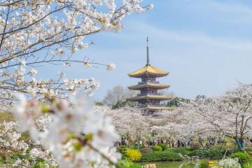 Mùa hoa anh đào Vũ Hán bừng sắc, sự hồi sinh sau tháng ngày oằn mình chống dịch nCoV