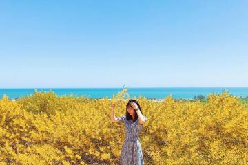 Đến hẹn lại lên rừng keo lá tràm Phan Thiết vào mùa rực rỡ