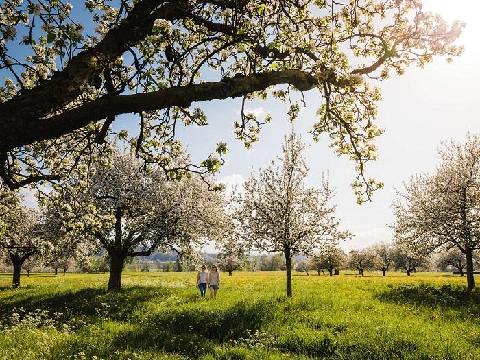 Những cây táo ở Altnau - Những điểm ngắm hoa mùa xuân ở Thụy Sĩ