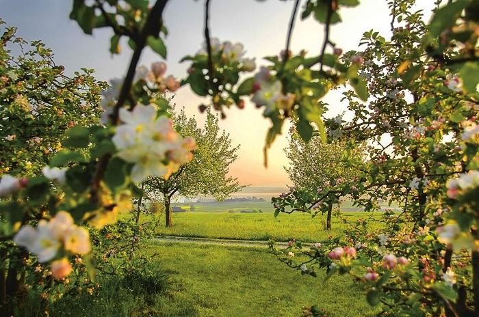 Hoa táo ở Altnau - Những điểm ngắm hoa mùa xuân ở Thụy Sĩ