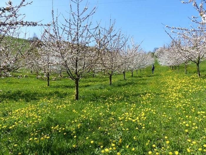 Chriesiwag-Frick - - Những điểm ngắm hoa mùa xuân ở Thụy Sĩ