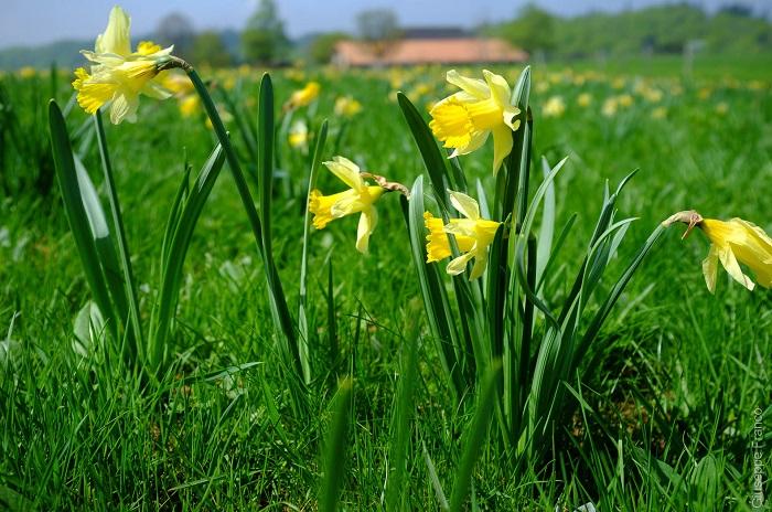 Bông hoa thủy tiên - Những điểm ngắm hoa mùa xuân ở Thụy Sĩ