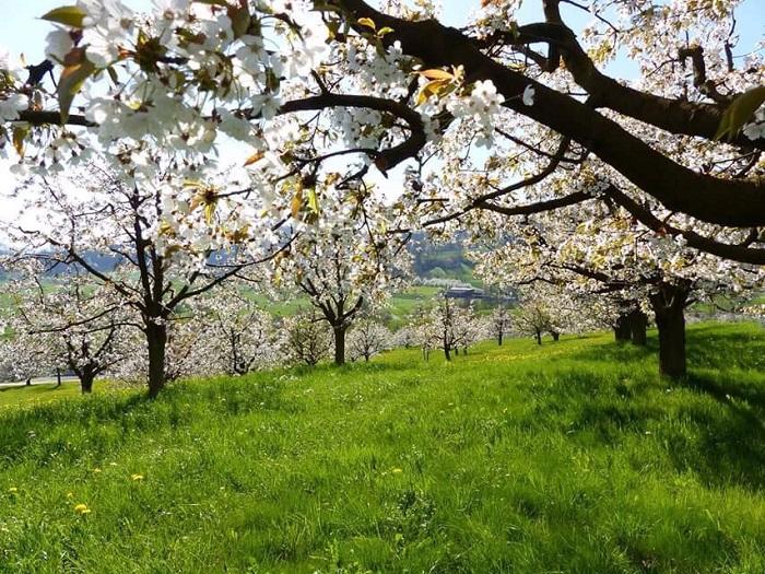 Hoa đào ở Frick - Những điểm ngắm hoa mùa xuân ở Thụy Sĩ