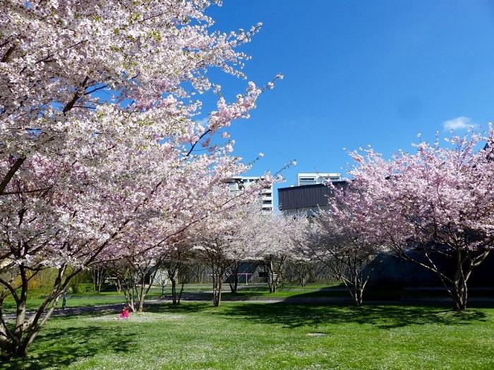 Hoa đào ở Lausanne - Những điểm ngắm hoa mùa xuân ở Thụy Sĩ