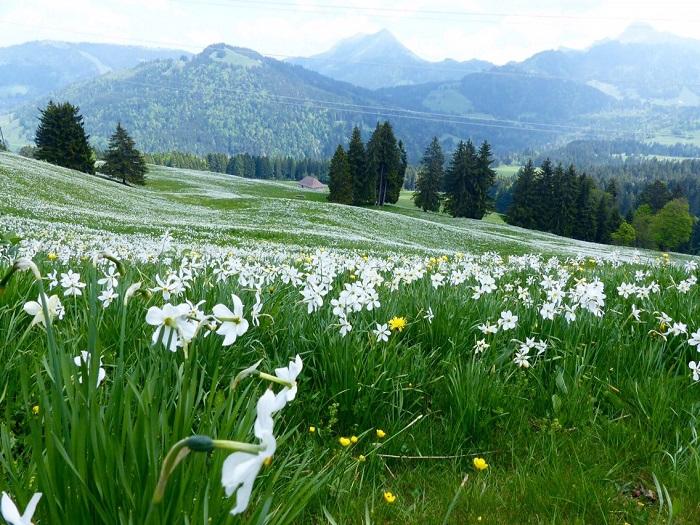 Hoa thủy tiên màu trắng - Những điểm ngắm hoa mùa xuân ở Thụy Sĩ
