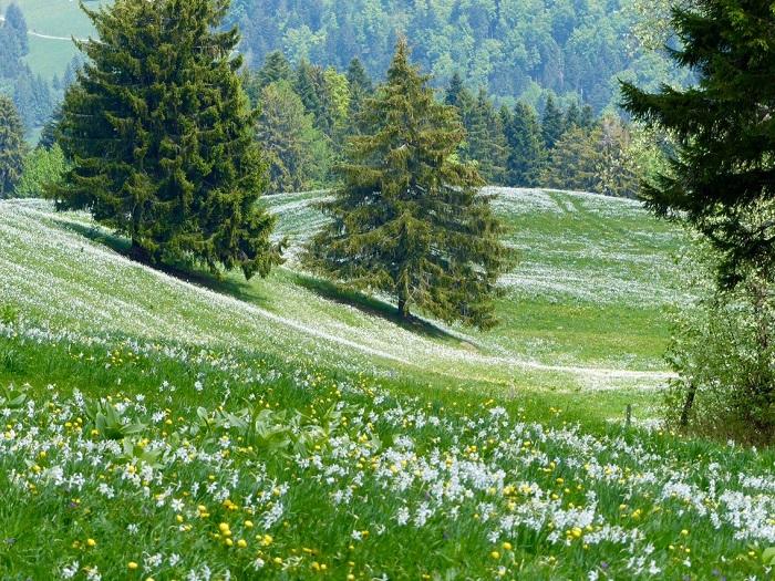 Một biển hoa thủy tiên ở Les Pléiades - Những điểm ngắm hoa mùa xuân ở Thụy Sĩ