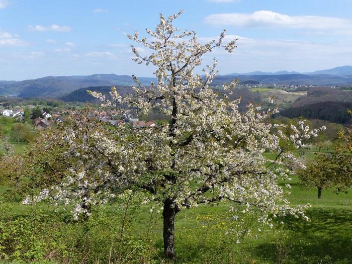 Những cây hoa anh đào nở rộ - - Những điểm ngắm hoa mùa xuân ở Thụy Sĩ