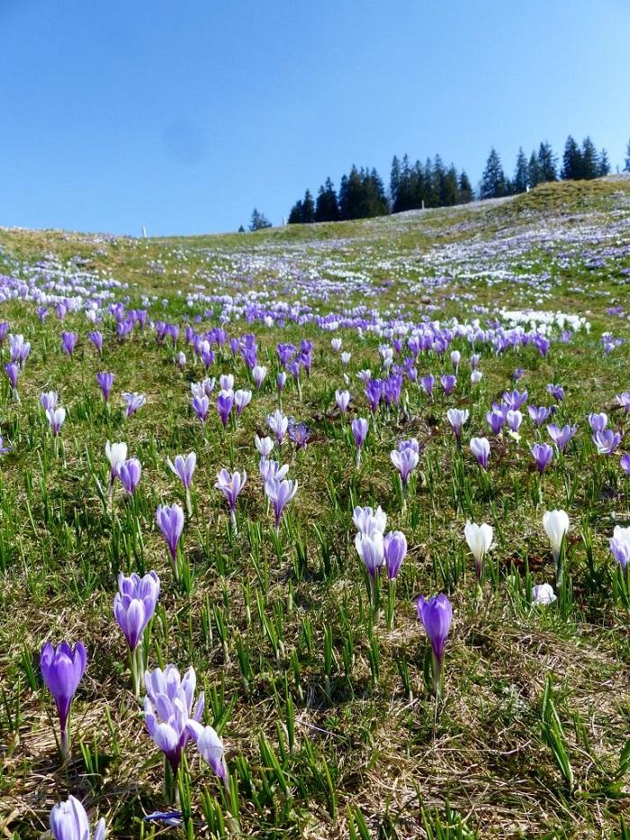 Những cánh đồng crocuses ở Rämmisgummen - Những điểm ngắm hoa mùa xuân ở Thụy Sĩ