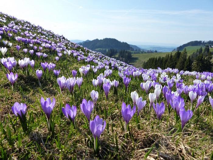 Hoa crocuses màu tím và trắng - Những điểm ngắm hoa mùa xuân ở Thụy Sĩ