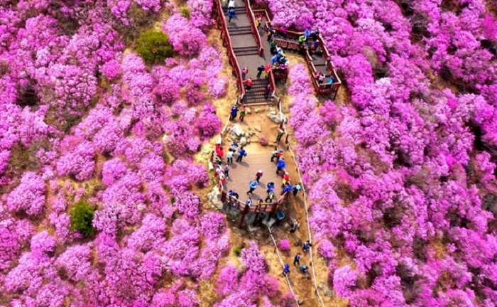 du lịch Hàn Quốc tháng 4 - lễ hội hoa đỗ quyên Goryeosan