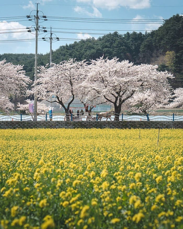 du lịch Hàn Quốc tháng 4 - lễ hội hoa cải Samcheok Maengbang