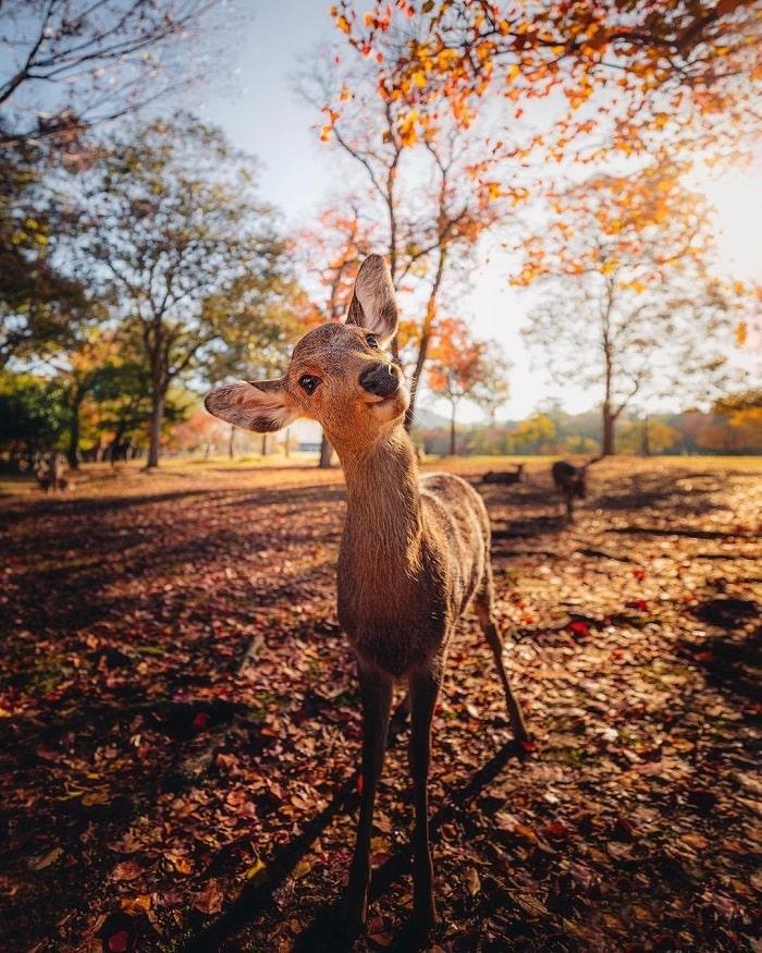 What month to travel to Japan - see Nara deer