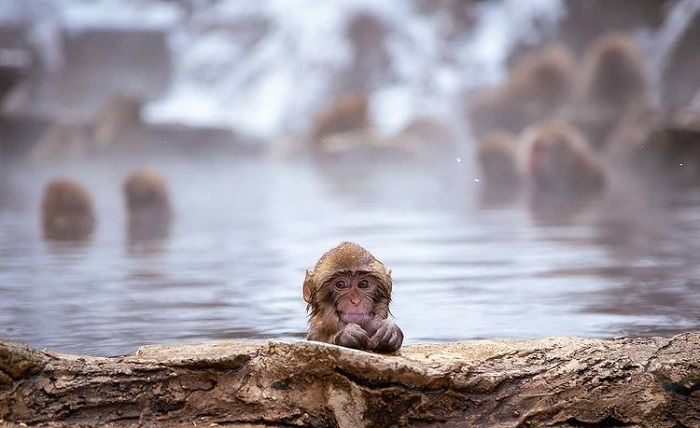 What month to travel to Japan - see Jigokudani monkeys in January
