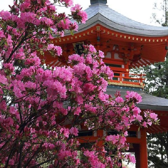 What month to travel to Japan - see rhododendrons