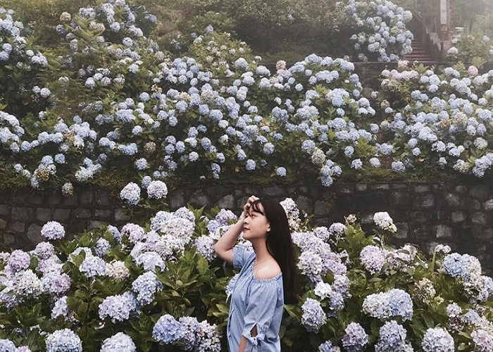 Hè về rồi, mình lên vườn hoa Cẩm Tú Cầu ở Cao Bằng check–in thôi!
