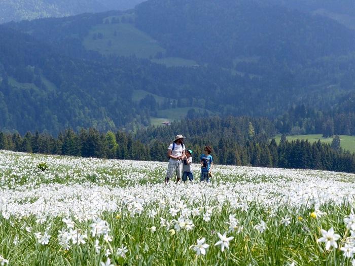 hoa-Les-pleiades - Những điểm ngắm hoa mùa xuân ở Thụy Sĩ