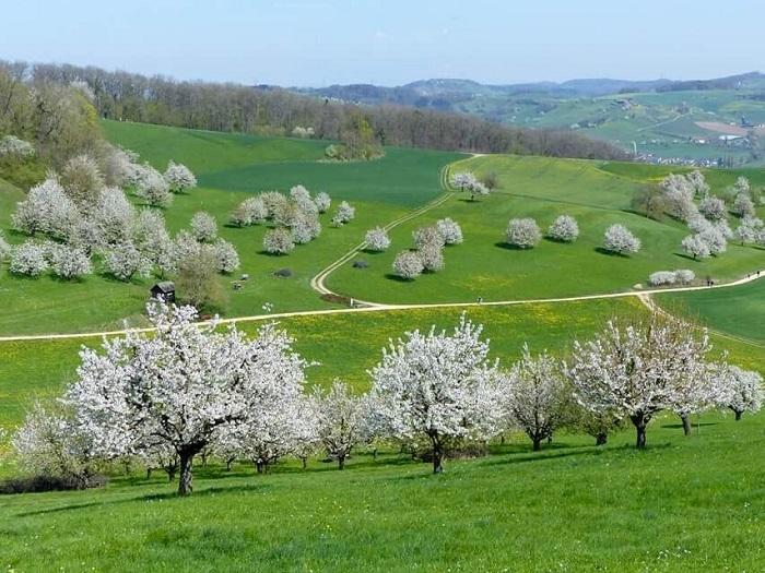 Những cây hoa anh đào - Những điểm ngắm hoa mùa xuân ở Thụy Sĩ