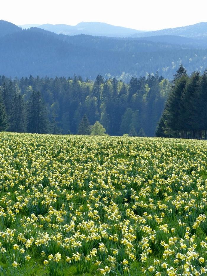 Hoa thủy tiên vàng ở Vue sur des alps - Những điểm ngắm hoa mùa xuân ở Thụy Sĩ