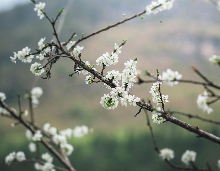 Du lịch Sapa tháng 3 - chiêm ngưỡng sắc hoa lê