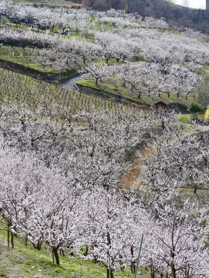Hoa mai ở Saxon  - Những điểm ngắm hoa mùa xuân ở Thụy Sĩ