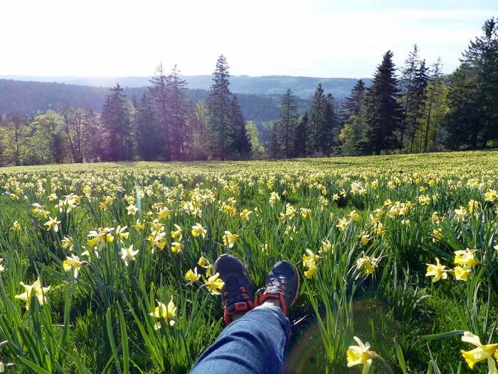 Hoa thủy tiên vàng rực rỡ - Những điểm ngắm hoa mùa xuân ở Thụy Sĩ