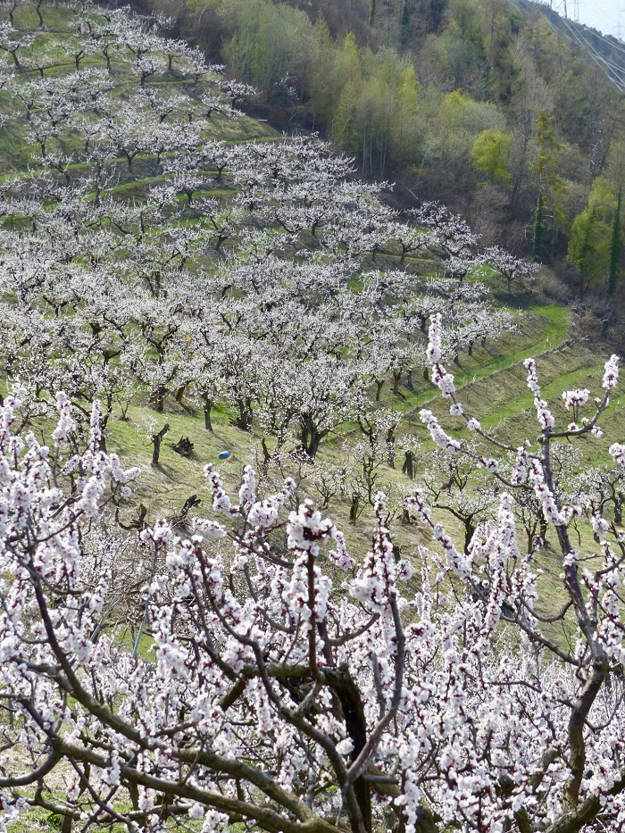 Những triền đồi đầy hoa mai - Những điểm ngắm hoa mùa xuân ở Thụy Sĩ