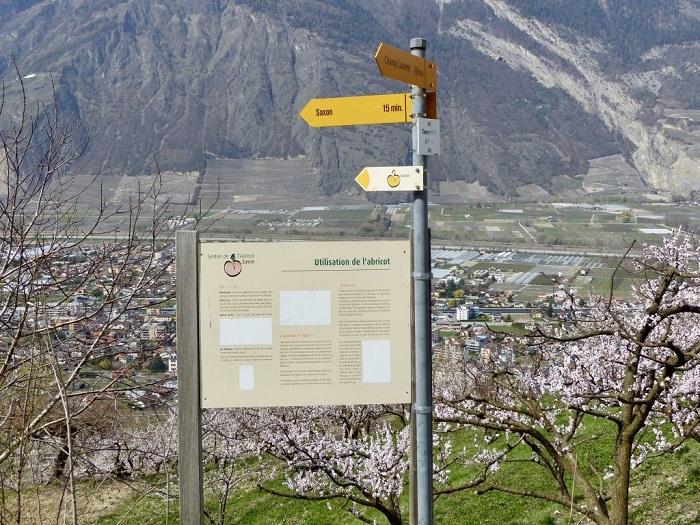 Biển chỉ đường đến nơi có hoa mai - Những điểm ngắm hoa mùa xuân ở Thụy Sĩ