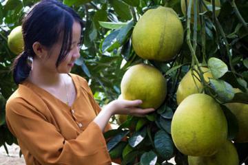 Bưởi Đoan Hùng Phú Thọ - sản vật quý của quê hương đất Tổ