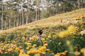 Đẹp ngút ngàn đồi hoa bất tử Đà Lạt
