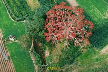 Mùa hoa gạo nở đỏ rực vùng quê Đại Lộc, Quảng Nam