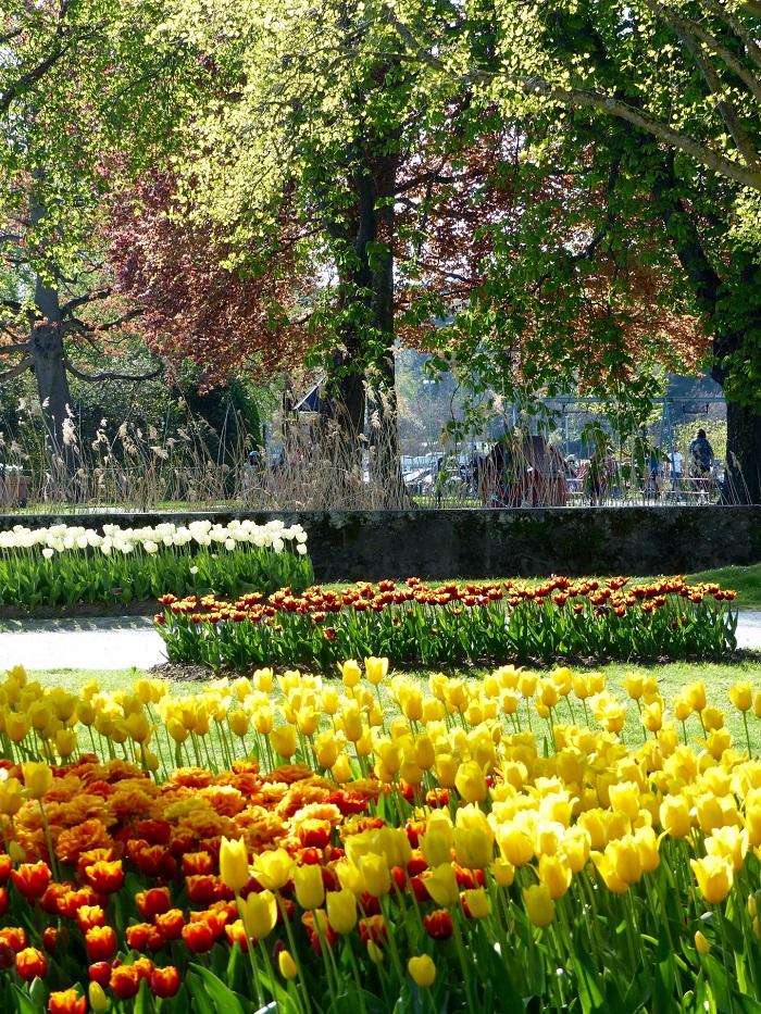 Những bông hoa thủy tiên rực rỡ ở Morges - Những điểm ngắm hoa mùa xuân ở Thụy Sĩ