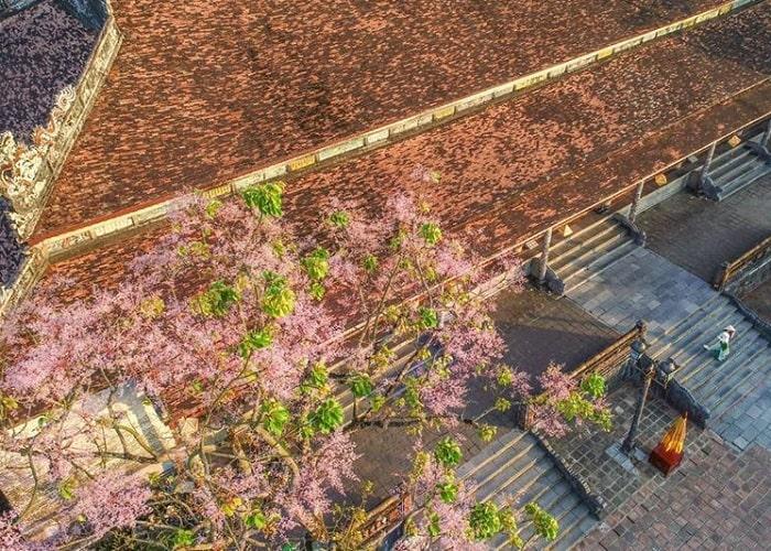 Đẹp nao lòng mùa hoa ngô đồng ở Đại Nội Huế
