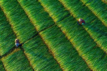 Chiêm ngưỡng cánh đồng cói Vĩnh Long vào mùa đẹp như tranh vẽ